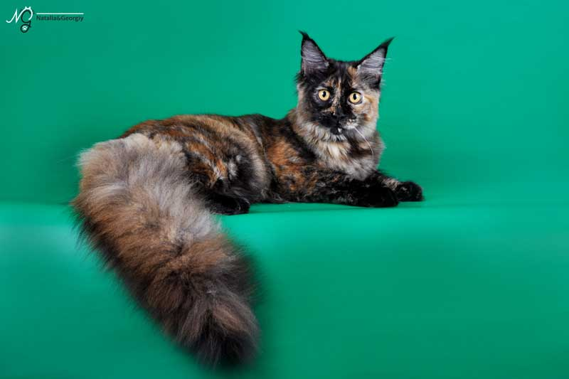 Питомники котов мейн-кун
