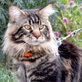 maine coon cattery, питомник мейн-кун, санкт-петербург